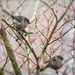 January30_2017_Small_Winter_Visiters_365A