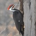 Pileated Woodpecker by frantackaberry