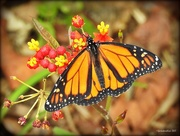 31st Jan 2017 - Monarch Butterfly