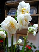 31st Jan 2017 - Narcissus ...