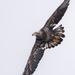 Juvenile eagle soaring by dridsdale