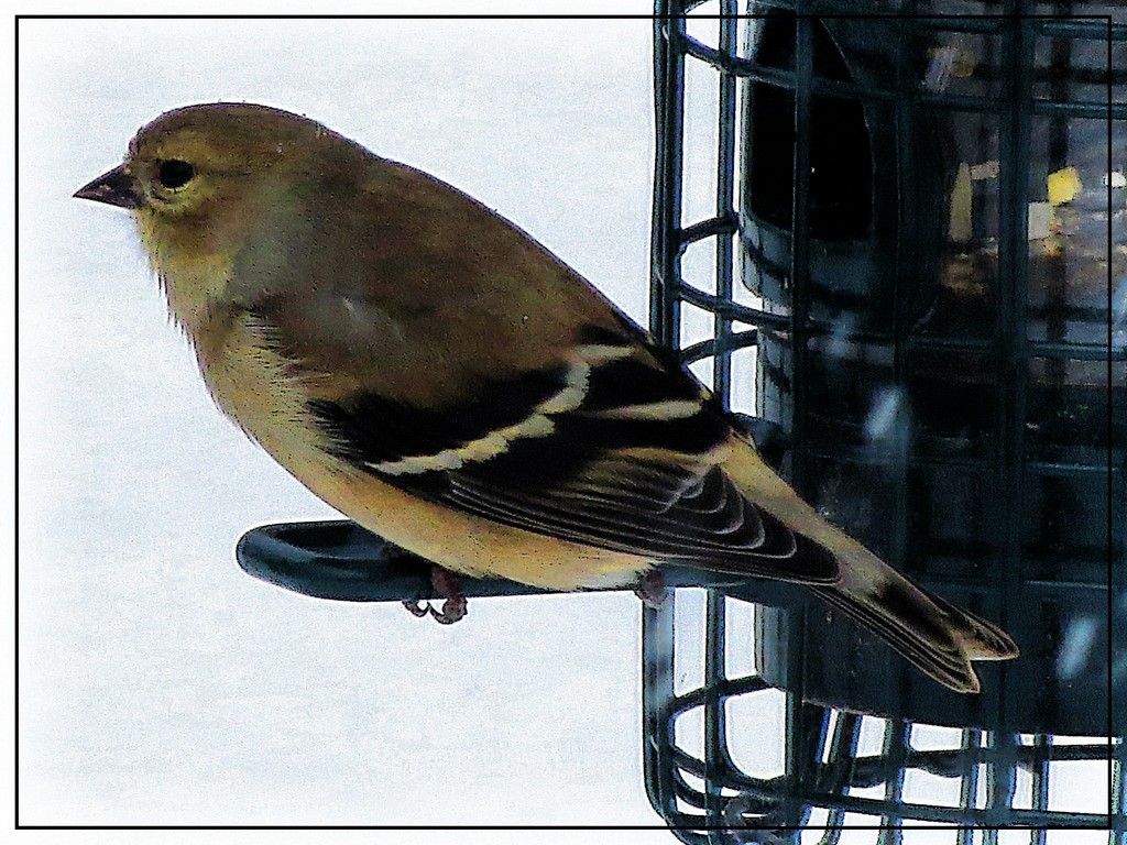 A Goldfinch at the Feeder by olivetreeann