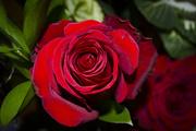 28th Jan 2017 - Battered rose