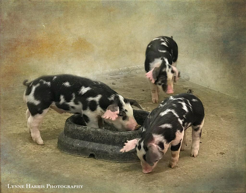 Three Little Pigs by lynne5477