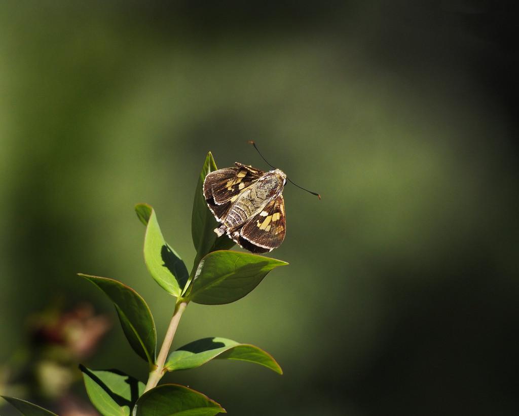 Butterfly, Splendid Ochre by ethelperry
