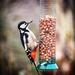 Woodpecker by swillinbillyflynn