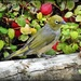 Silvereye on 365 Project