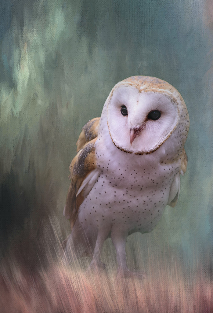 Barn Owl  by jgpittenger