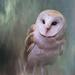 Barn Owl  by jgpittenger