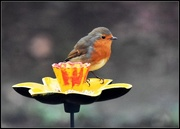 3rd Feb 2017 - Trying out the new feeder