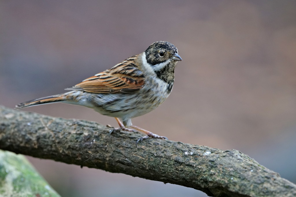 REED BUNTING MALE by markp