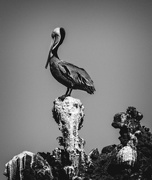1st Feb 2017 - Pelican On Guano Rock B and W
