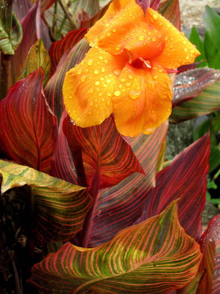 Colourful leaves of a  Canna (Tropicanna) by 777margo