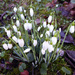 Snowdrops by cmp