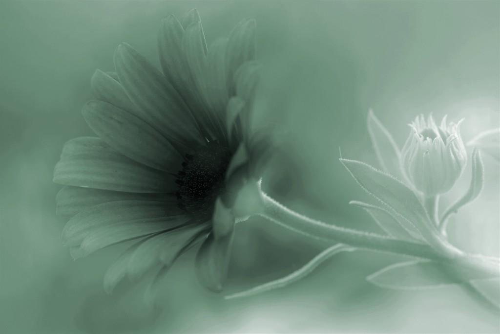 Bud n flower by ziggy77