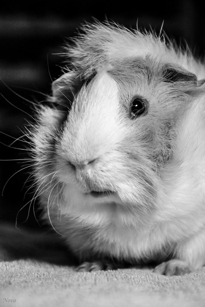 Merry the guinea pig model by novab