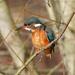 Female Kingfisher Framed-BOB by padlock