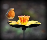 4th Feb 2017 - One of my friendly robins