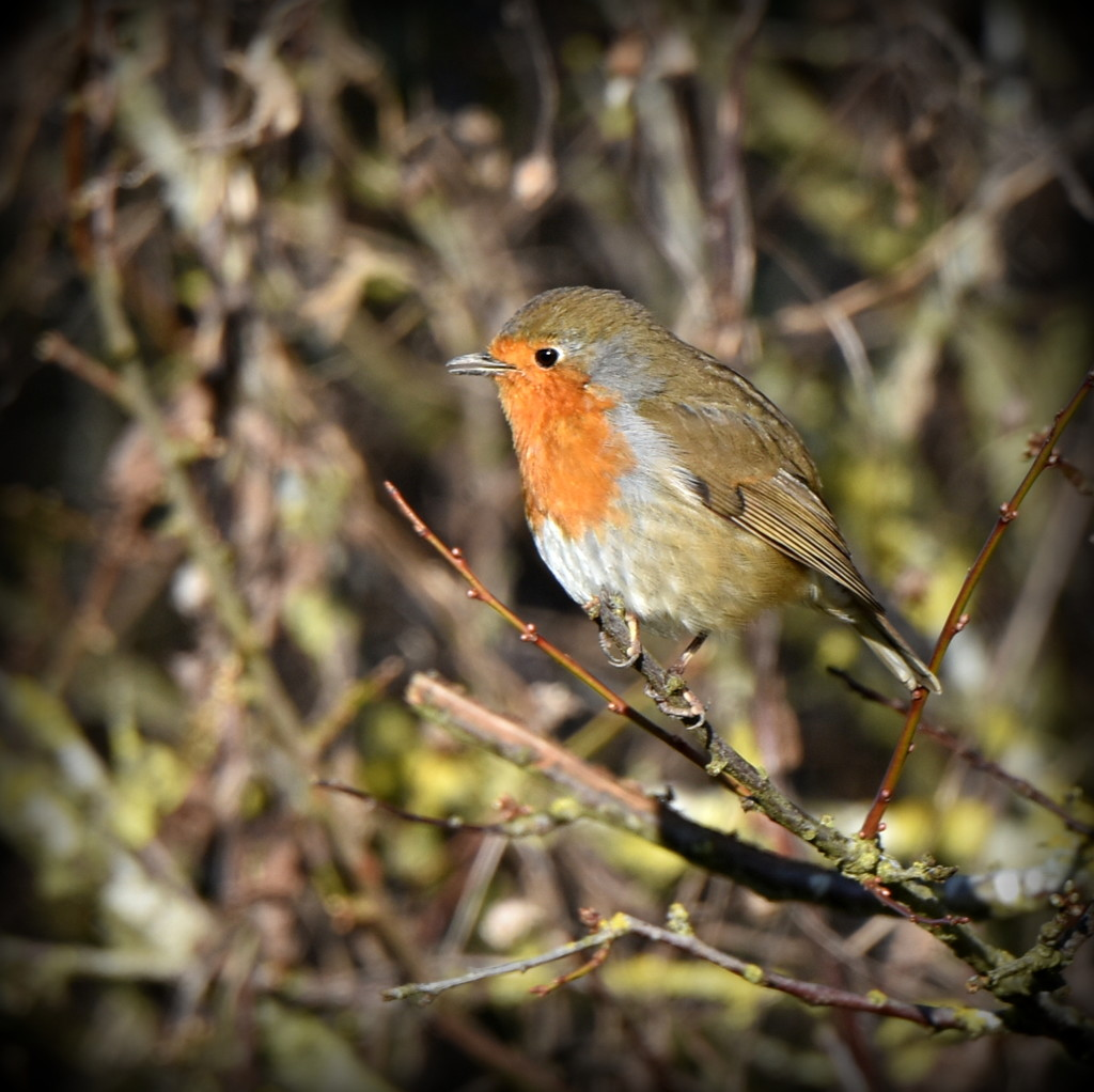 A Wood Lane friendly robin by rosiekind