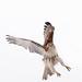 The HAWK! by fayefaye
