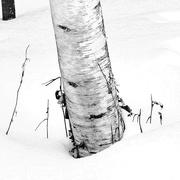 4th Feb 2017 - Birch Tree