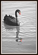 5th Feb 2017 - Black Swan