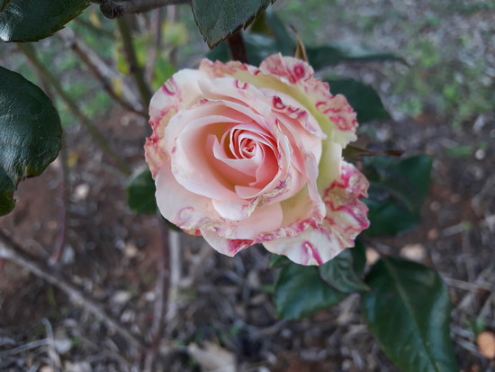 Candystripe Rose by shilohmom