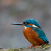 Male Kingfisher early on the bank by padlock