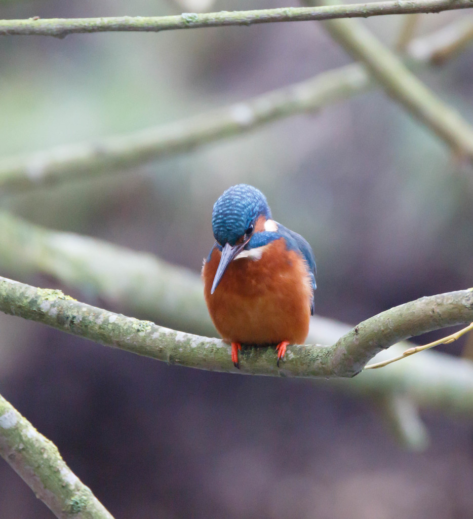 Male Kingfisher poised for action by padlock