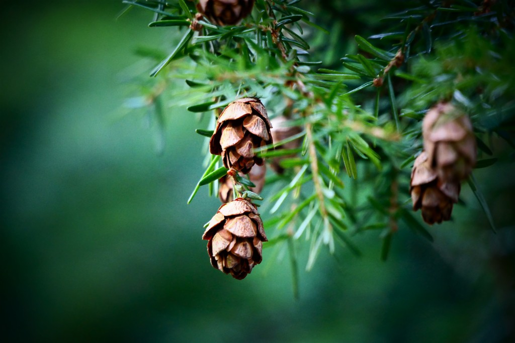 Baby Pine Cones by carole_sandford