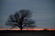 25th Jan 2017 - Tree at Kansas Dusk