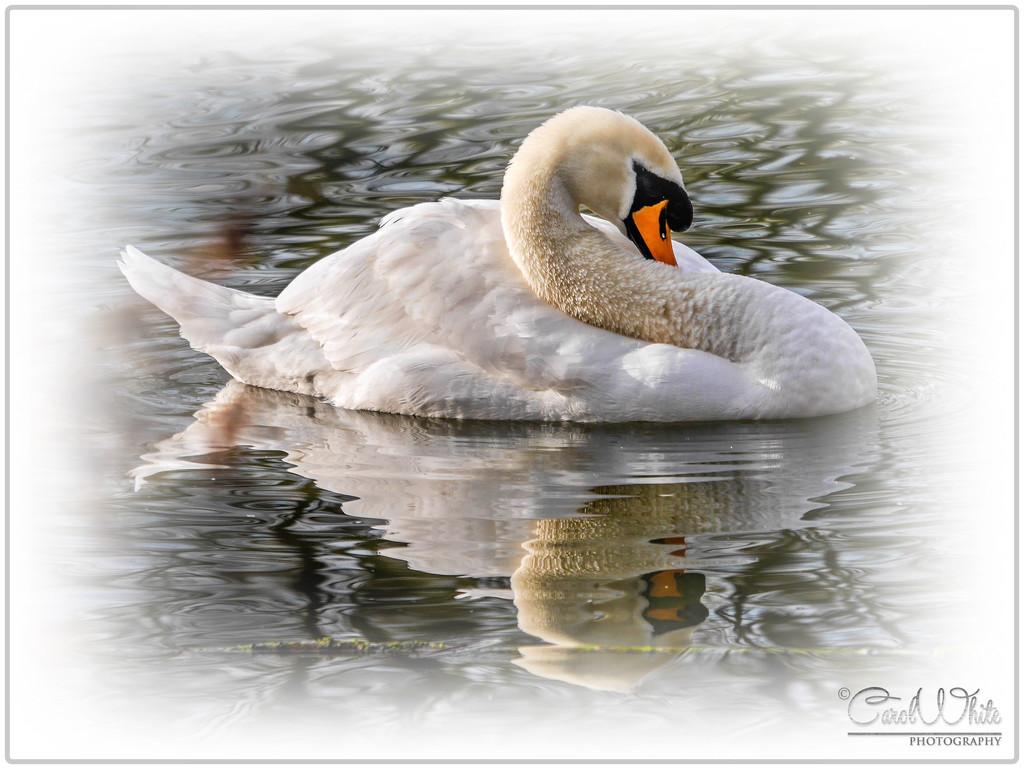 Shy Swan by carolmw