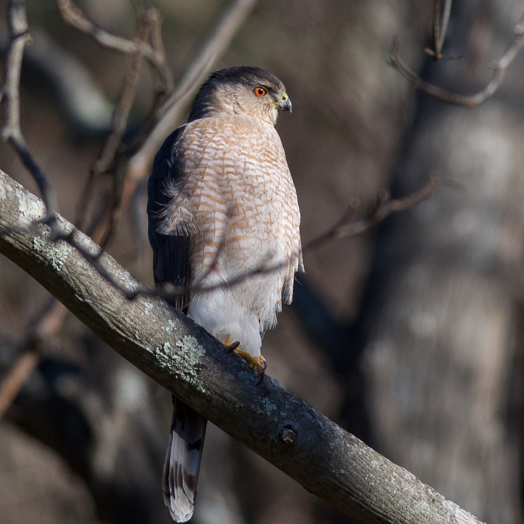 Cooper's Hawk on the hunt by berelaxed