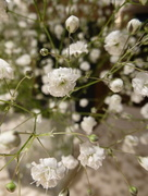 6th Feb 2017 - Gypsophila ....