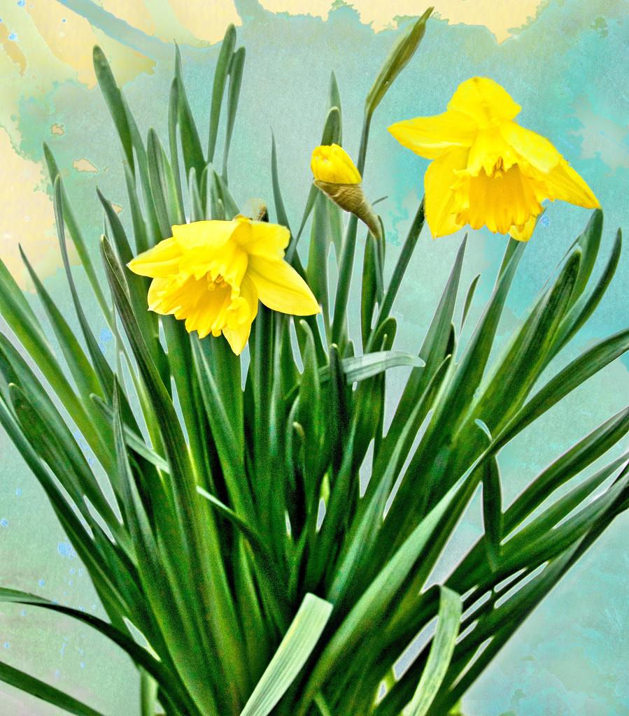 Daffodils  by joysfocus