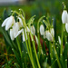 First snowdrops by blueace