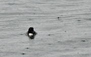 7th Feb 2017 - Front view of diving duck