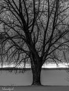 8th Feb 2017 - Stately Tree