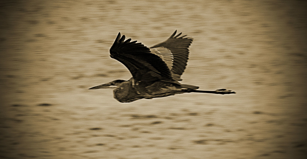 Blue Heron in Flight! by rickster549