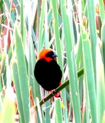 8th Feb 2017 - Hiding in the reed