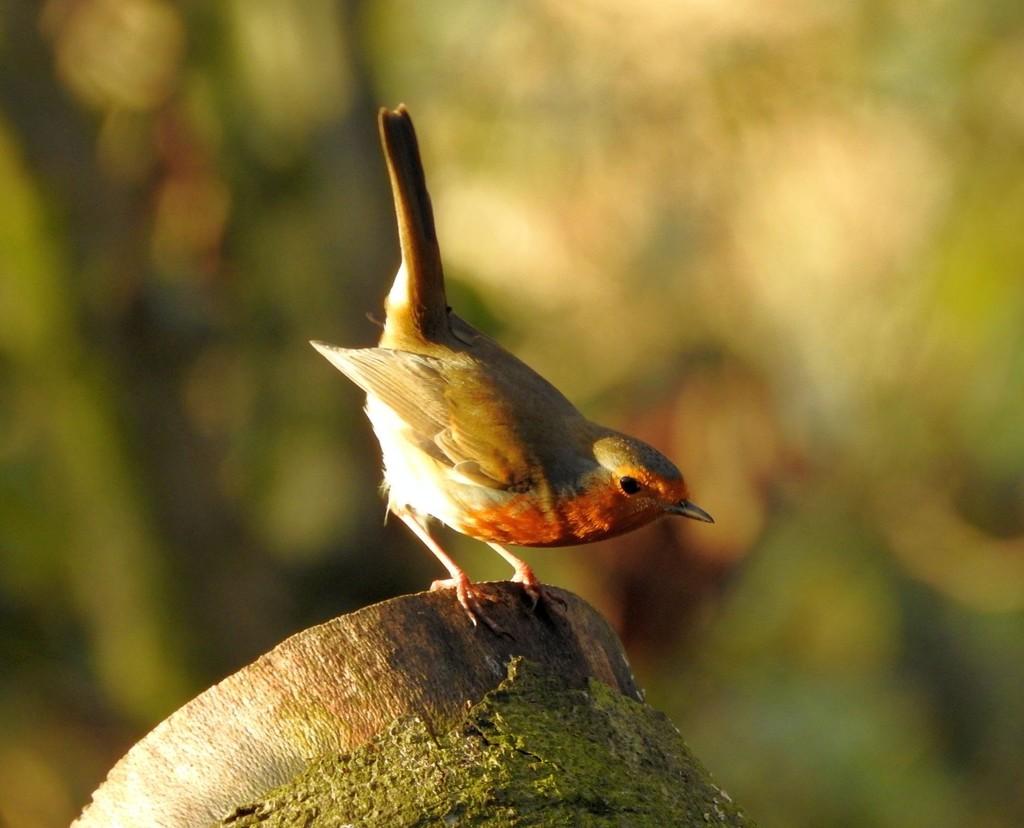 Robin by oldjosh