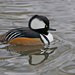 HOODED MERGANSER  by markp