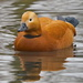 RUDDY SHELDUCK by markp