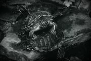 8th Feb 2017 - a trio of turtles