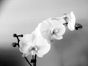 8th Feb 2017 - Orchid