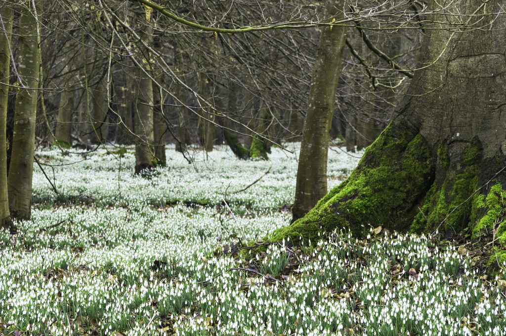 Snowdrops at Welford Park by jon_lip