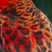 close up of the back feathers of a Crimson Rosella by hrs