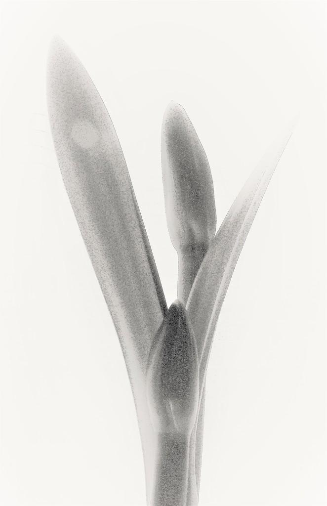 Amaryllis B/W  ( further edit ) by beryl