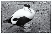 10th Feb 2017 - 2017 02 10 - Eider Duck