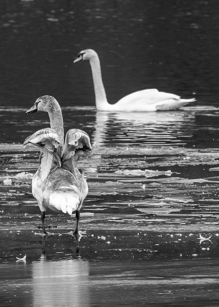 Juvenile swan with adult by dridsdale